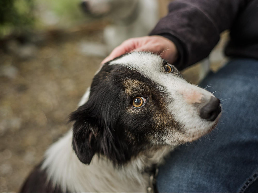 signs of old age in dogs: hand tapping dog's head