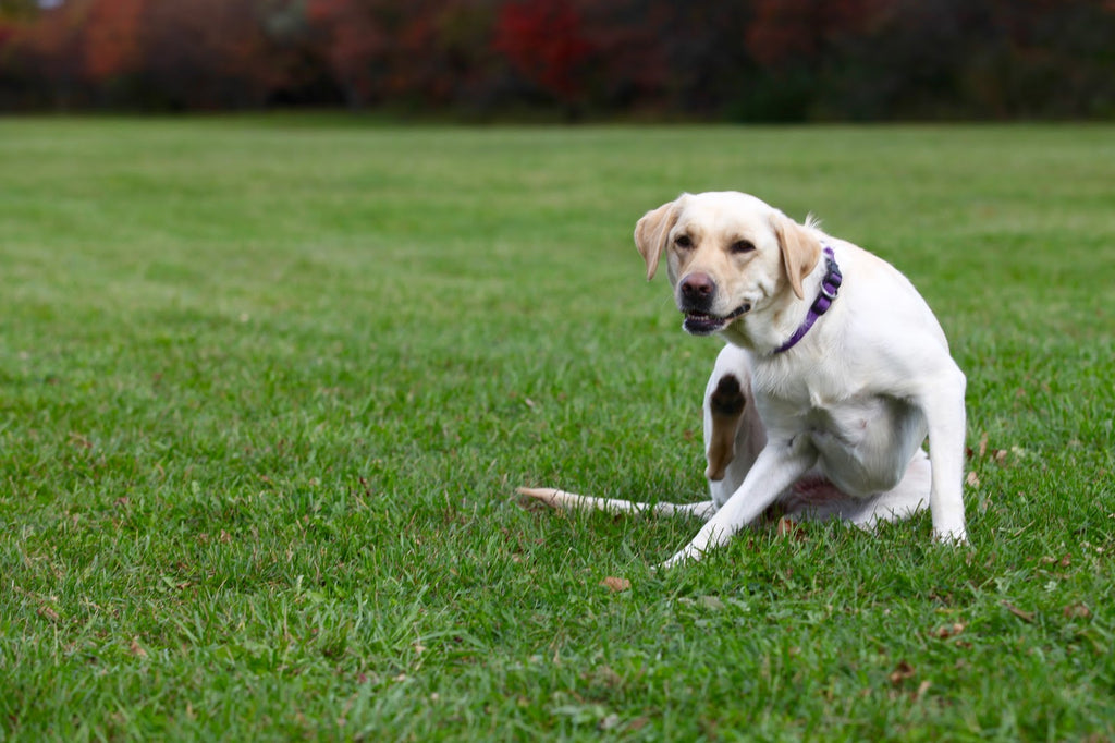 Mange in dogs: Itchy yellow Labrador on the grass
