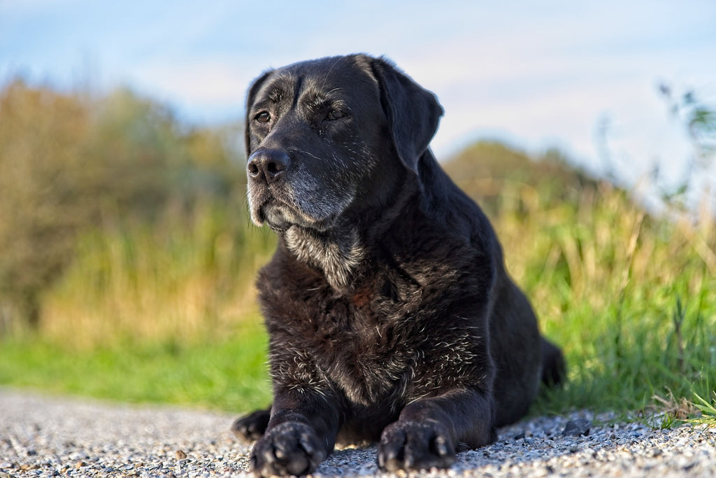 Senior Dog older canine