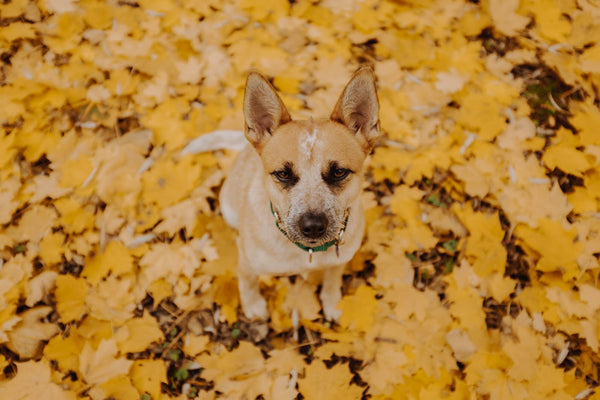 Dog in yellow leaves