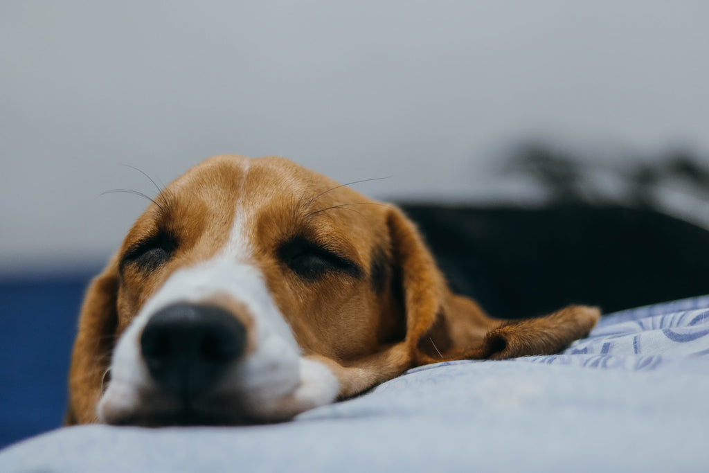 Natural Pain Relief for Dogs: Resting beagle