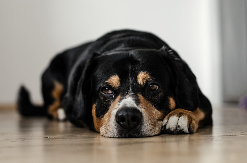 Natural Pain Relief for Dogs: Resting dog on floor