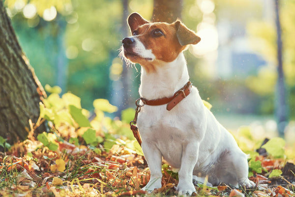 Turmeric for Dogs With Arthritis | PetHonesty