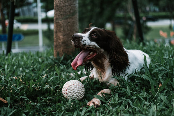 Dog with a ball in a yard
