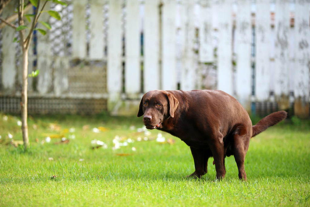 Why does my dog have diarrhea: A chocolate lab trying to poop on the grass