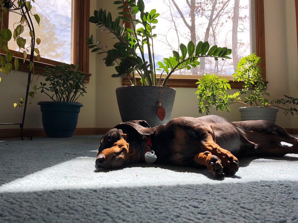 Tired Dog Laying on the Floor