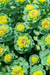 4 amazing ways Rhodiola rosea could change your life!