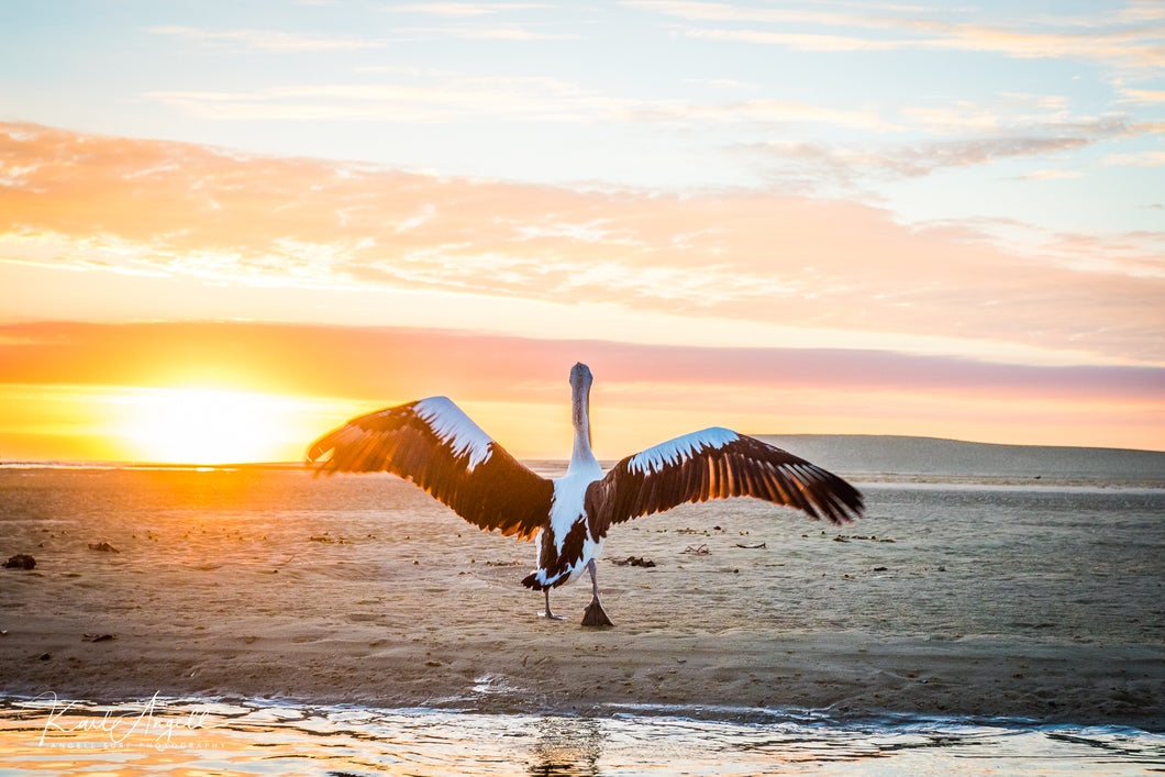 Pelican Sun Bath - Currimundi Lake - Surf Art Apparel