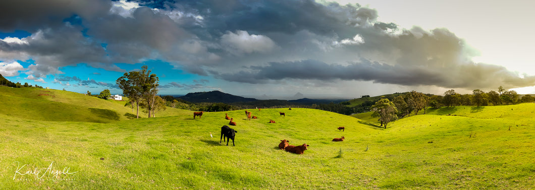 Cows - Maleny - Surf Art Apparel