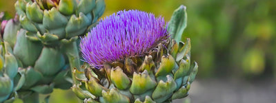 Science-Based Health Benefits of Artichoke Extract