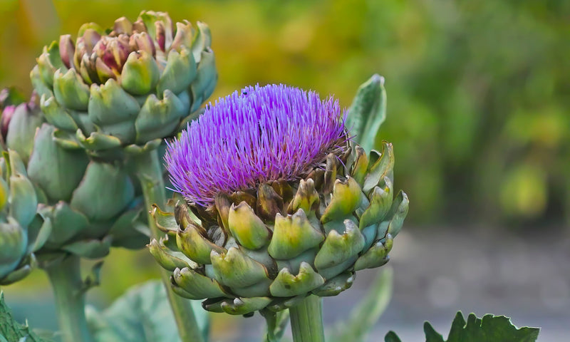 How Artichoke Helps Improve Liver Health