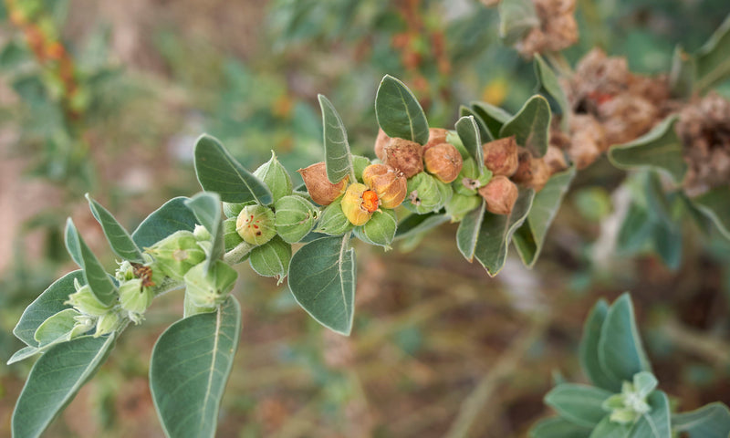 How Ashwagandha Helps Improve Thyroid Health