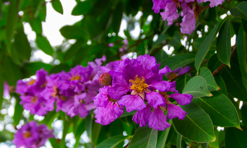 Science-Based Health Benefits of Banaba Leaf