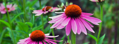Science-Based Health Benefits of Echinacea