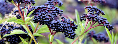 Science-Based Health Benefits of Elderberry