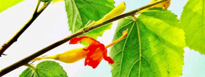 Science-Based Health Benefits of Gymnema Sylvestre