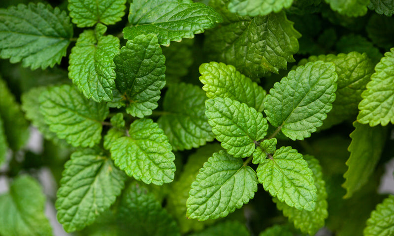 Science-Based Health Benefits of Lemon Balm