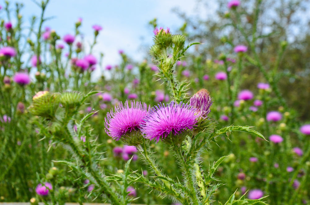 Science-Based Health Benefits of Milk Thistle (Silymarin)