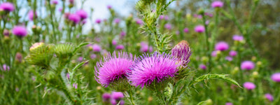 How Milk Thistle and Silymarin Help Improve Liver Health