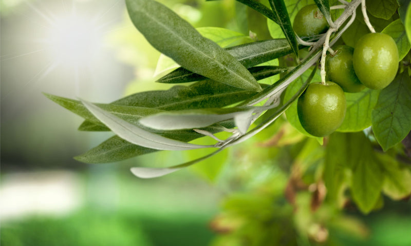 How Olive Helps Improve Immune Health
