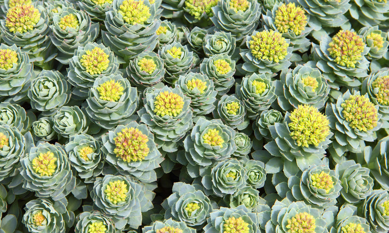 How Rhodiola Helps Improve Adrenal Health
