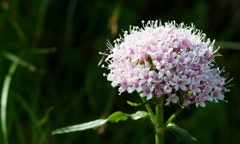 How Valerian Helps Improve Sleep