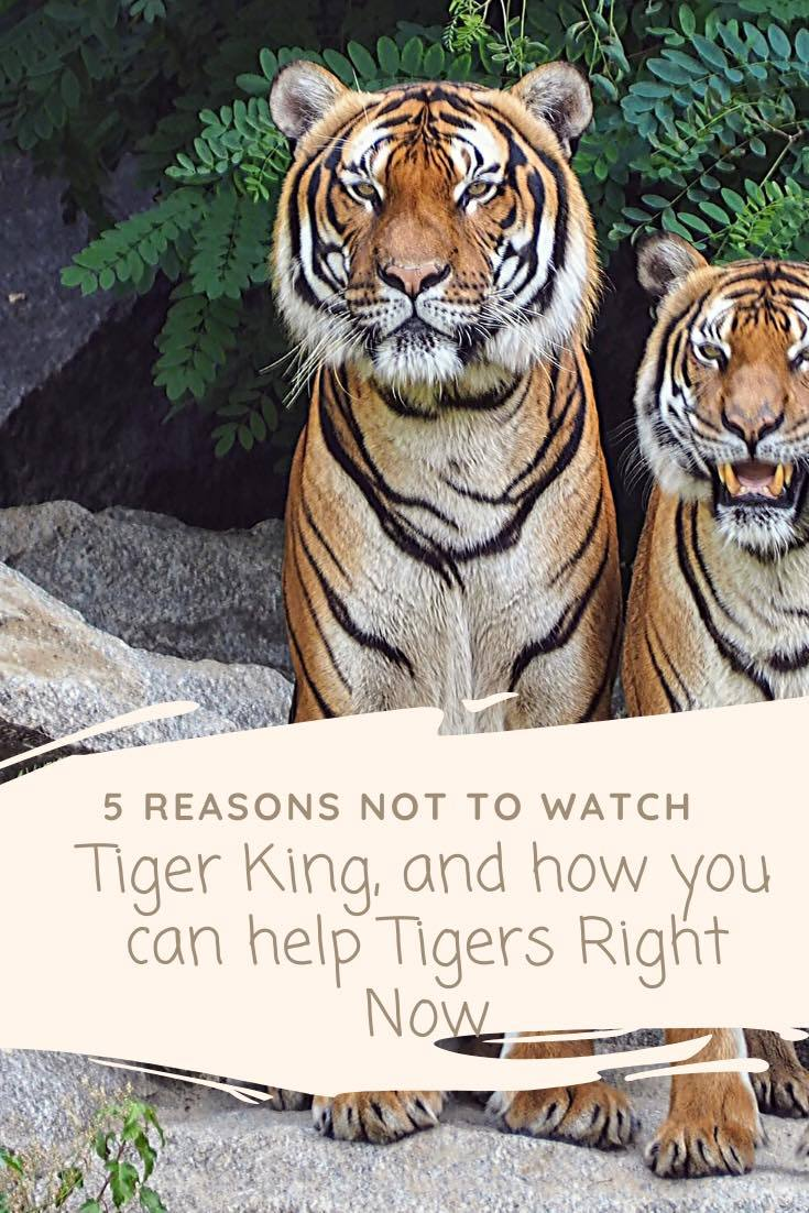 5 Reasons Not to Watch Tiger King & How YOU Can Help Tigers NOW