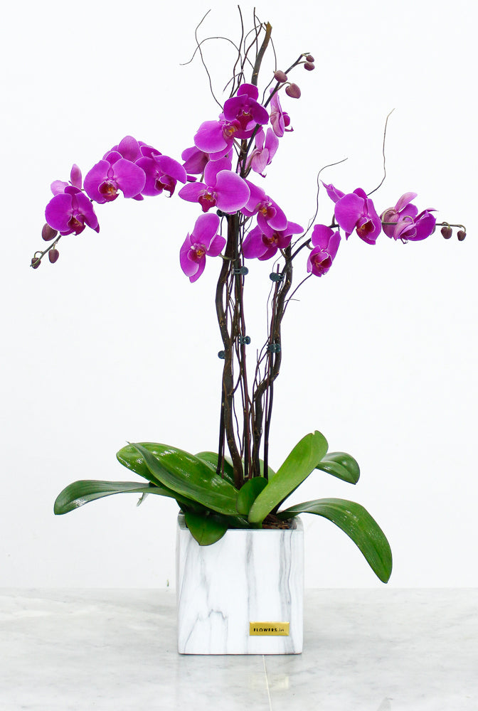 2 Stem Purple Phalaenopsis Orchid Plant with Balloon & White Wine