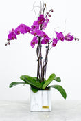 3 Stem Purple Phalaenopsis Orchid Plant Gift Set. Flowers in white classic vase. Have fresh flowers sent to you by Flowers.IE. Same day flower delivery available.