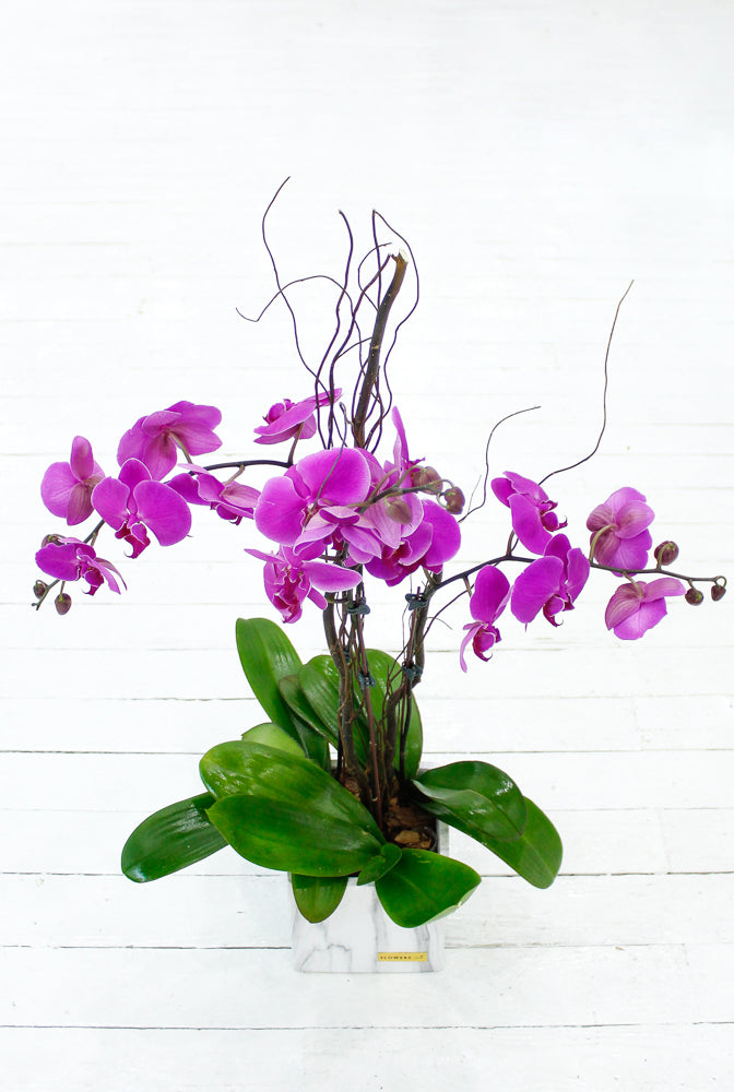 3 Stem Purple Phalaenopsis Orchid Plant with Balloon & Wine