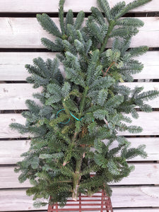 4lb Noble Fir Bunch