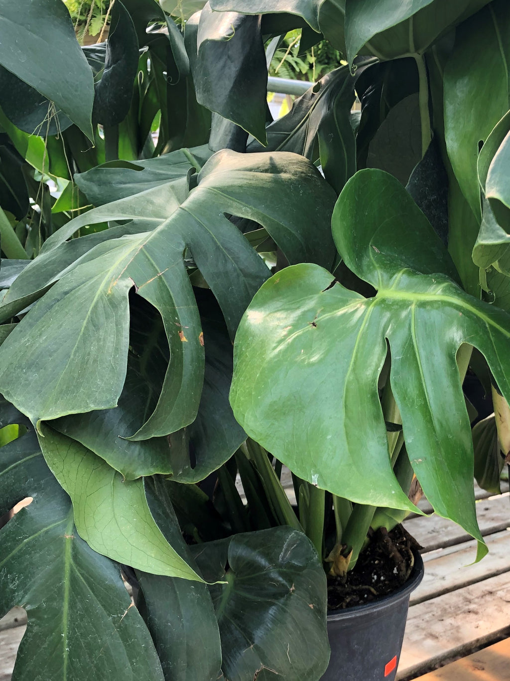 Monstera  (Swiss Cheese plant)