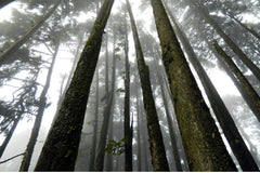 Tall forest trees showing parallel sides of OCD and Anxiety in a positive way