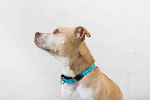 Pacifica Martingale Dog Collar / Aqua - Wildebeest