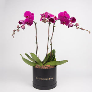 Large Black Box Purple Orchid Plant By Bloomingbox - www.alabalii.com