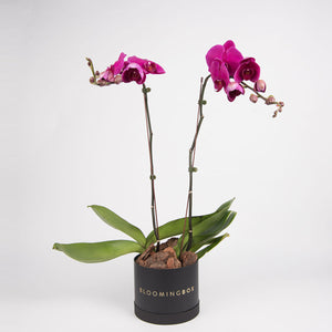 Medium Black Box Purple Orchid Plant By Bloomingbox - www.alabalii.com