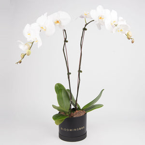 Medium Black Box White Orchid Plant By Bloomingbox - www.alabalii.com