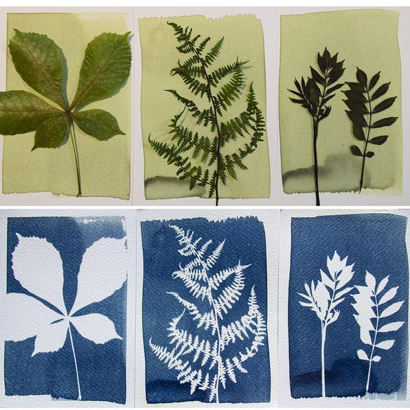 three before and after images of plants after use of cyanotype kit