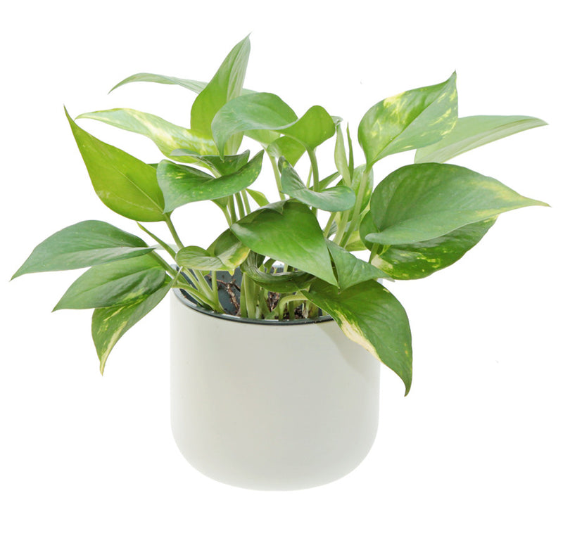 Okidome: Eden Suction Planter