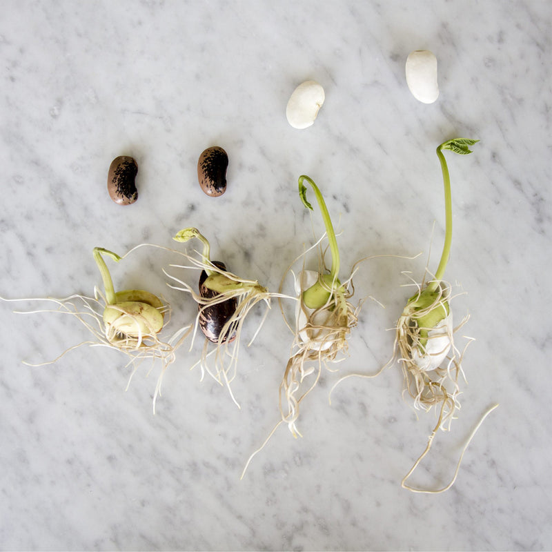 image showing groeth of two black seeds and two white seeds on a marble white background