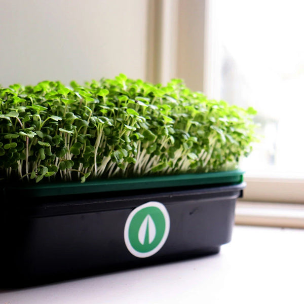 close up image of fully grown green crops in a black tray with the nufields logo on the side of the tray.