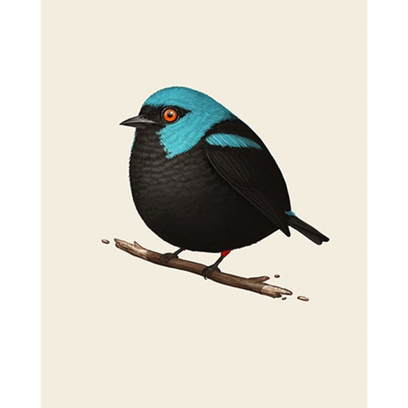 Mike Mitchell - Scarlet-Thighed Dacnis Fat Bird