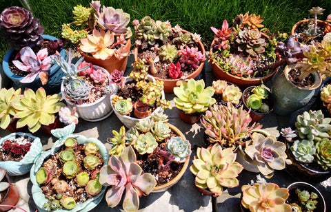 growing succulents outdoor during summer