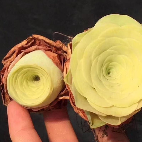 Rare Succulents Greenovia Mountain Roses Yellow