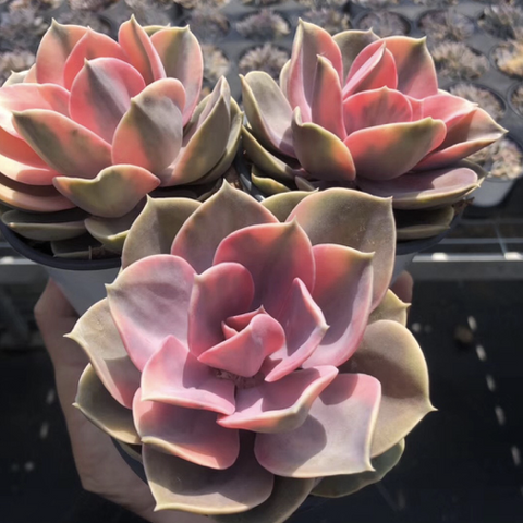 (October Preorder) Rare Succulent Echeveria Rainbow (Large)