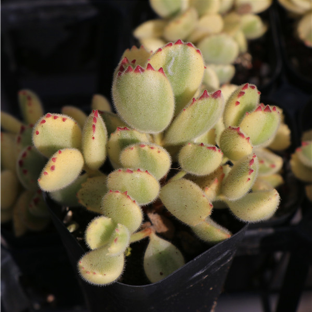 (October Preorder) Rare Succulent Cotyledon ladismithiensis  f.variegata Cluster (White Bear's Paws)