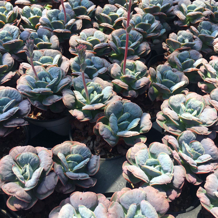 (October Preorder) Rare Succulent Echeveria love rain drops (1head)