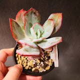 Rare Imported Korean Succulent Echeveria Selex