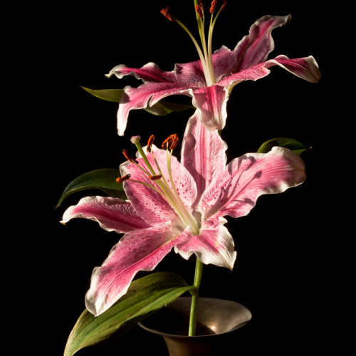 Oriental Lily and Velvet Moses fragrance oil