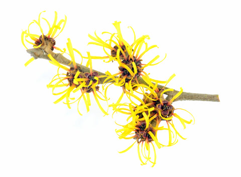 HAMAMELIS VIRGINIANA (WITCH HAZEL) DISTILLATE